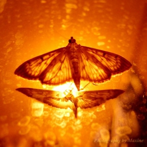 Fire_Moth_by_maxine_photo